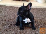 SLK Francoski Bulldog mladiči