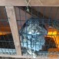 Podarim hisnega zajcka, ki je navajen biti zunaj v kletki