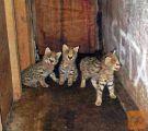 Na raspolaganju su 2 dječaka i 2 djevojčice Savannah mačića