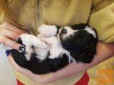 Tibetanski terier - mladički z rojstnim listom