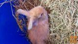 levjegrivi zajčki hišni končna teža.0.80kg