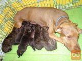 pasji mladiči ugodno