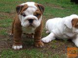 Šar pej i šiba inu štenci na prodaju