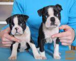 Boston terijer i jorksirski terijer štenci na prodaju