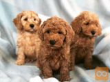 Charming Cockapoo puppies