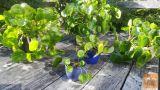 Poporovkasta pileja (pilea peperomioides)