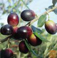 Oljčno olivno olje iz 100% LECCINO 2020